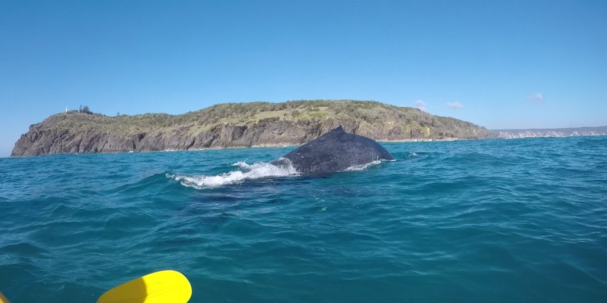 Curious Humpback whale encounter on tour