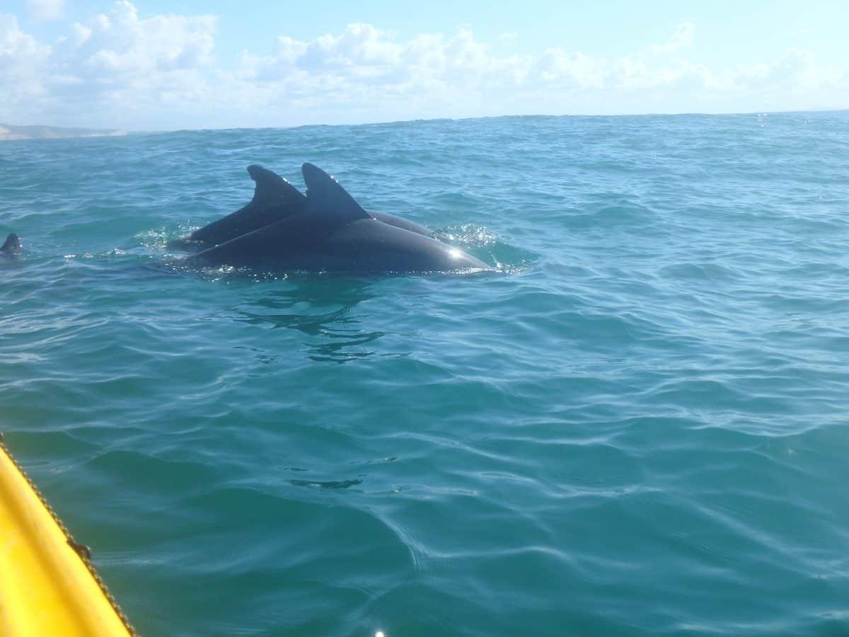 dolphin kayak noosa